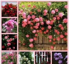 Hình ảnh Hạt giống hoa hồng leo pháp mix gói 10-12 hạt