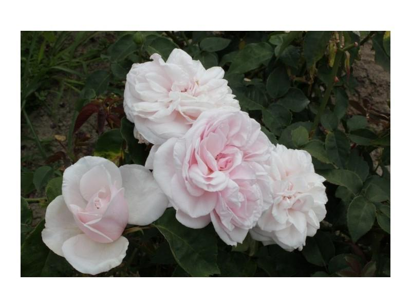Hoa Hồng Tree Rose Souvenir De Malmaison