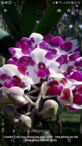 com bo 5 hoa phong lan - đai châu lá mít  - đai châu lá mít