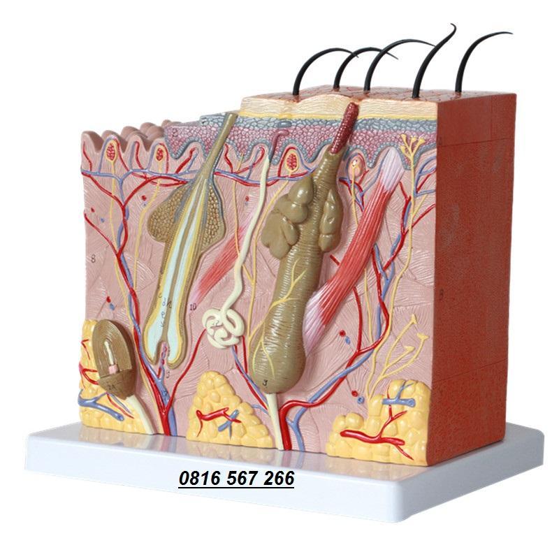 Mô hình giải phẫu cấu tạo các lớp da của cơ thể người nhập khẩu