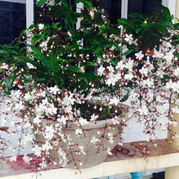 CHẬU CÂY  Dạ Ngọc Minh Châu  – hoa chơi tết mang lại tài lộc
