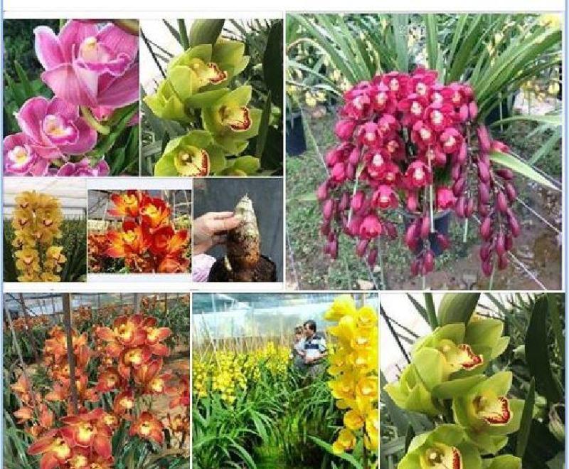 Combo 6 củ giống hoa địa lan santo - đỏ vàng hồng cam tím và xanh