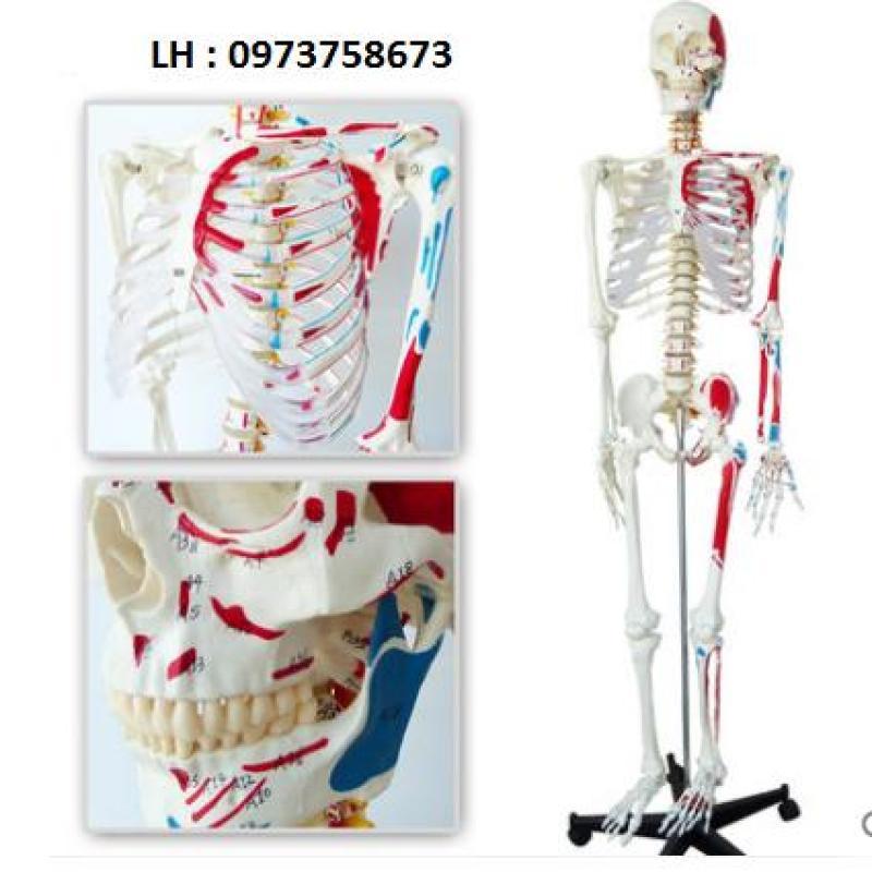 Mô hình xương  cao 170cm có rễ thần kinh và dây chằng quanh khớp