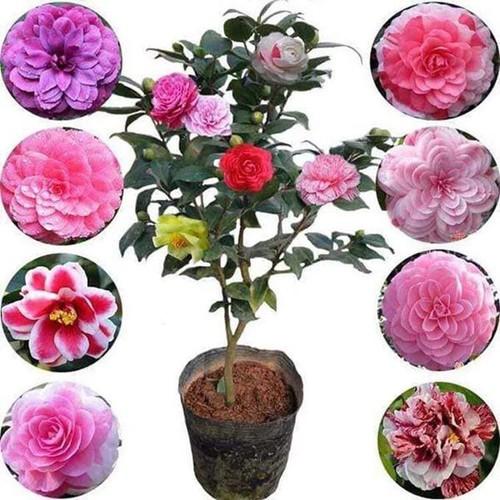 COMBO 10 cây giống hoa trà đỏ cổ, hàng cực hiếm, cây giống rễ trần