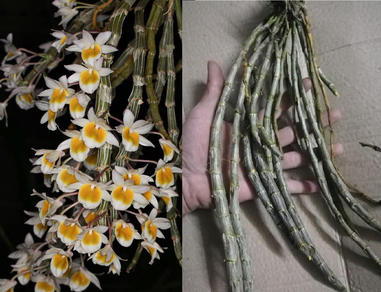 Lan rừng Long tu - loài hoa lan được nhiều người yêu thích
