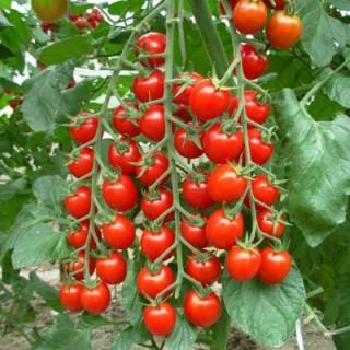 20 hạt giống cà chua chuỗi ngọc siêu ngọt F1 thumbnail