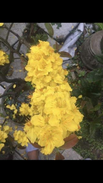 Cây Hoa mai giống siêu bông