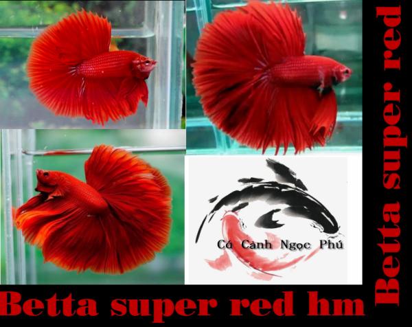 Betta super red hm - Thức ăn - Phụ kiện