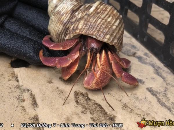 [Ốc BREVI Chuẩn Đẹp] Quà tặng từ Biển - BREVI Ốc Mượn Hồn - Quà Lưu Niệm Vỏ Ốc - Trang Trí Hồ Nuôi Ốc Mượn Hồn - Hồ Cá Cảnh - Vỏ Ốc Biển TRang Trí Nhà Cửa - Bàn Làm Việc