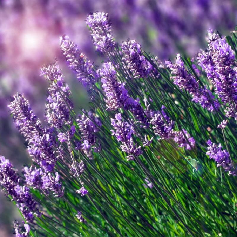 Gói 50 hạt giống hoa oai hương - Lavender