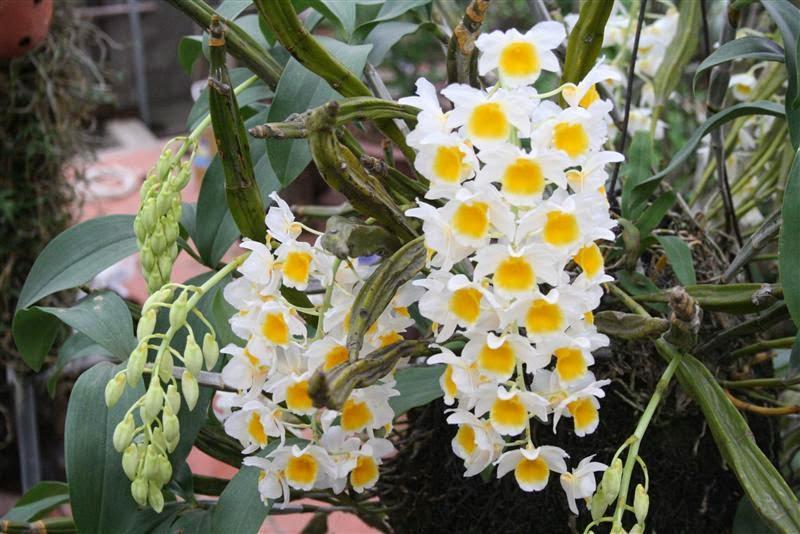 Cây hoa lan rừng kiều Vuông - cung cấp lan rừng kiều vuông