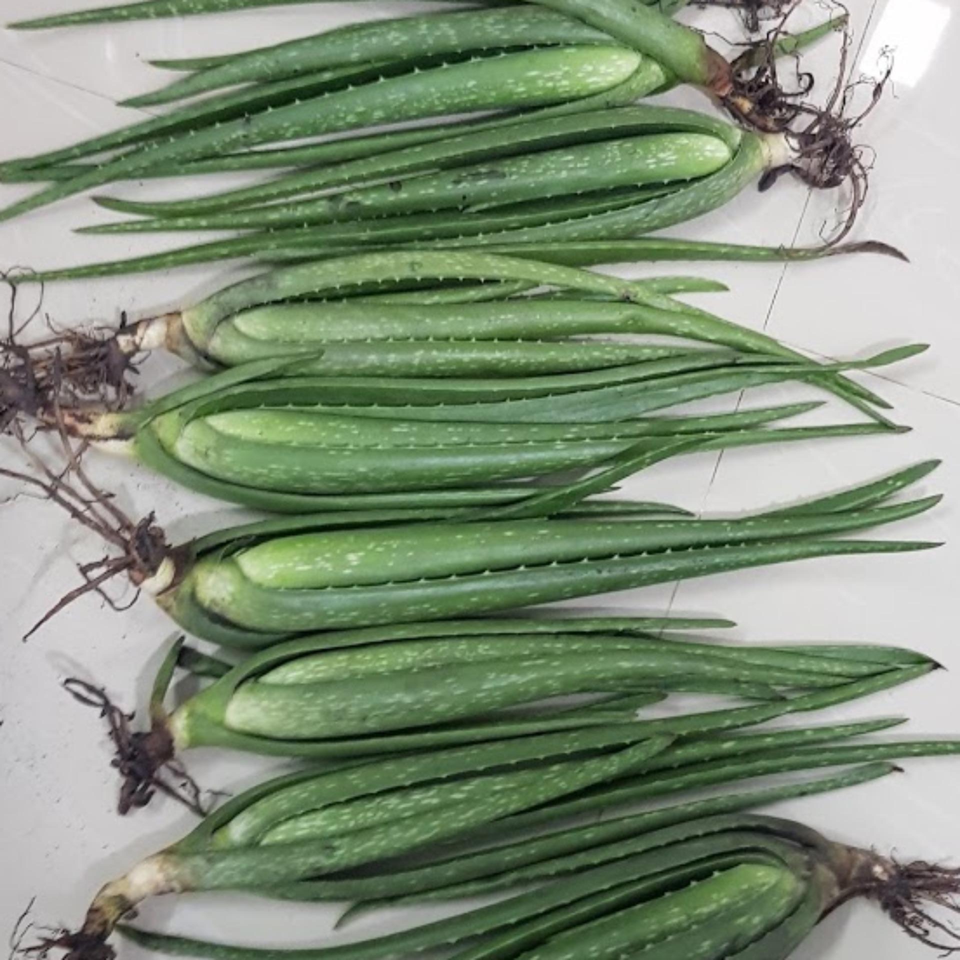 (combo 10 cây giống) Nha Đam Mỹ loại to, cao 70cm