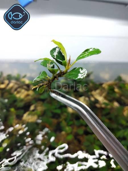 Ngọn Bucep đã ra lá nước - Cây thủy sinh bucep - Darlacs Aquaria Bucephalandra