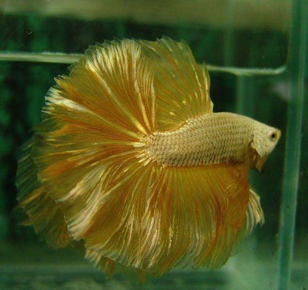 Cá Betta Halfmoon Full Gold Trống Siêu To, Siêu Đẹp Đem Đến May Mắn, Tài Lộc - Cá Betta Thái Lan