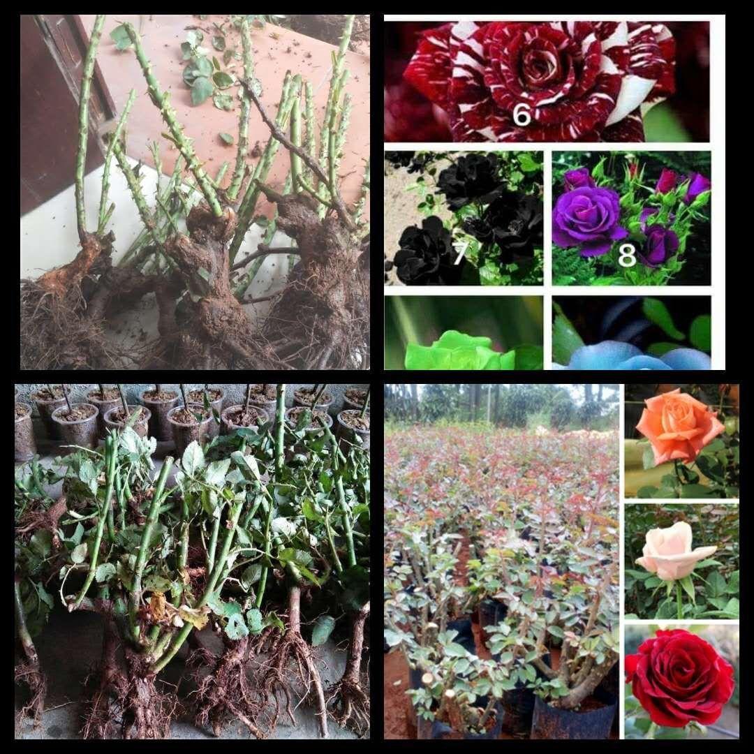 Combo 10 gốc giống hoa hồng mười màu