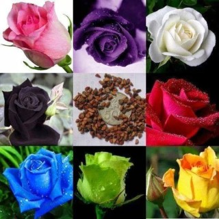 Hạt giống hoa hồng Hà Lan mix - 1 gói 20 hạt thumbnail