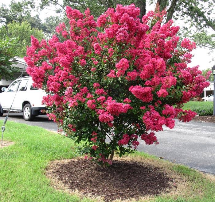 hoa tường vy, cây giống gửi đi nguyên bầu