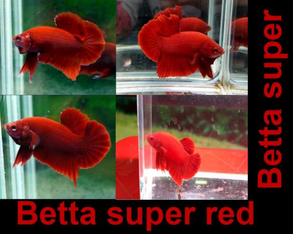Betta super red - Thức ăn - Phụ kiện
