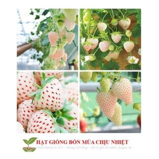 Gói 50 hạt giống dâu tây trắng chịu nhiệt Dâu tây Nhật 1