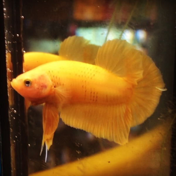 BETTA SUPER YELLOW ( trống )
