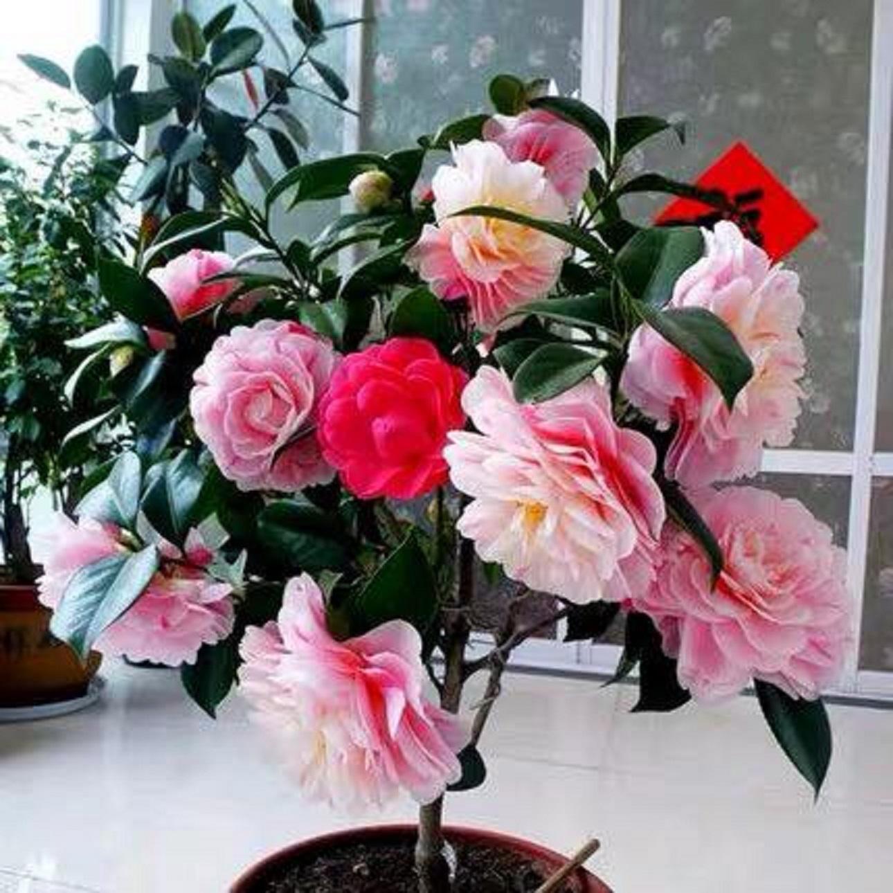 combo 10 cây giống hoa trà my ngũ sắc-cây giống rễ trần - CB10TMNS