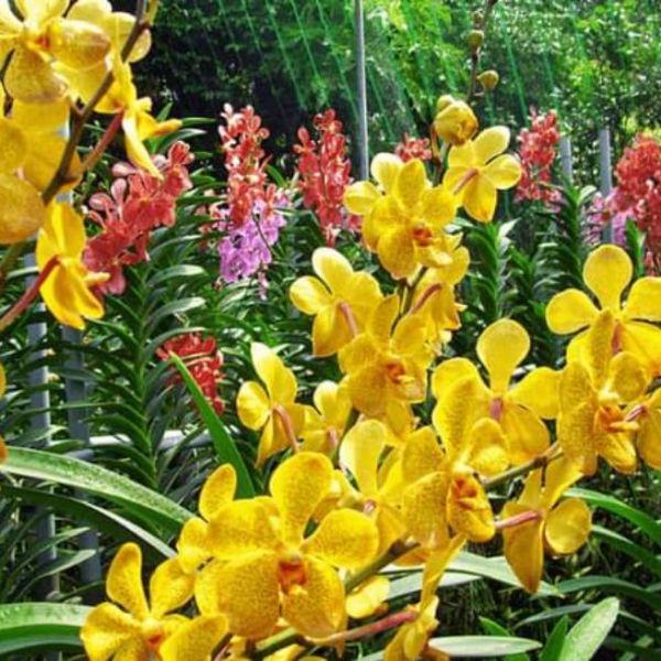 lan mokara SIÊU TIẾT KIỆM 10 cây giống đủ màu - Vân Tây Ninh