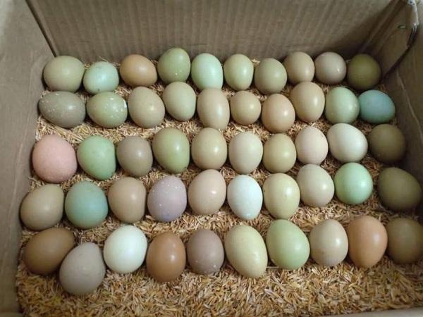 Combo 10 Trứng chim trĩ