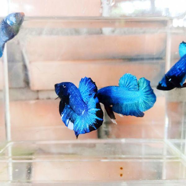 Betta black blue 4.5 tháng hàng chọn, bơi lanh, khoẻ đẹp sạch bệnh, đảm bảo đẹp như hình