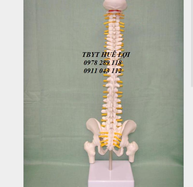 Mô hình cột sống 45cm