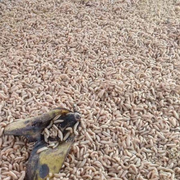 trứng ruồi lính đen 60k/10gram