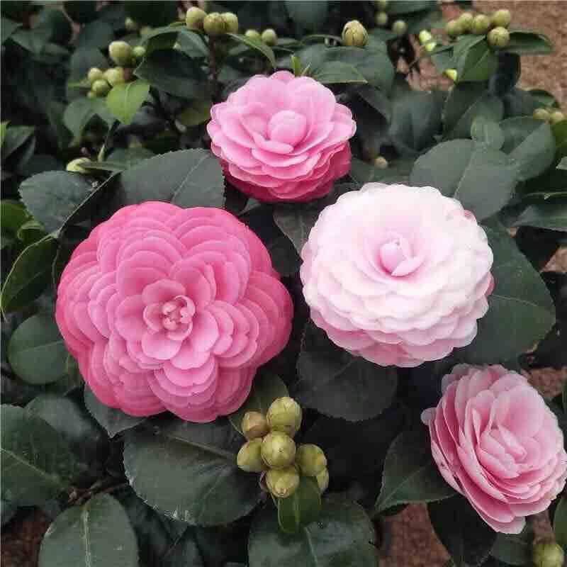 Combo 5 cây trà giống hoa kép đủ màu
