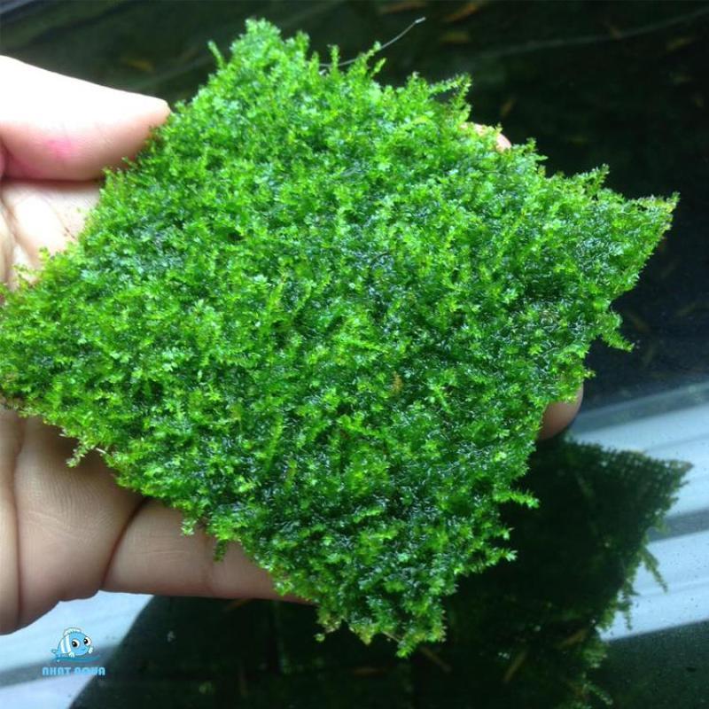Rêu thủy sinh MINI TAIWAN - Taiwan moss