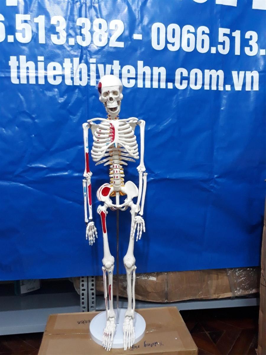 Mô hình xương người cao 85cm có rễ thần kinh từ cột sống nhập khẩu
