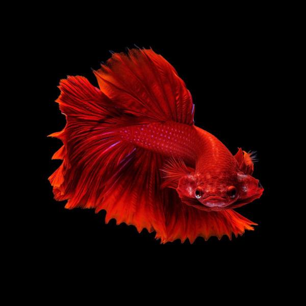 Cá Betta Halfmoon Full Red Trống Siêu To, Siêu Đẹp Đem Đến May Mắn, Tài Lộc - Cá Betta Thái Lan