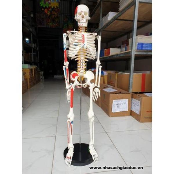 Mua Mô hình xương người cao 85cm có rễ thần kinh từ cột sống
