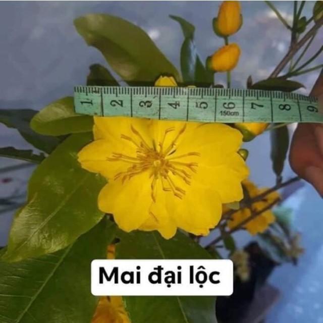Hoa mai đại lộc từ 5-48 cánh. Cây ghép như hình
