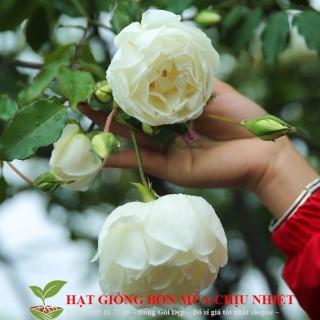 Hạt Giống Hoa Hồng Bạch Xếp Bạch Nam Định 10 Hạt Đến Mùa Trồng Tết thumbnail