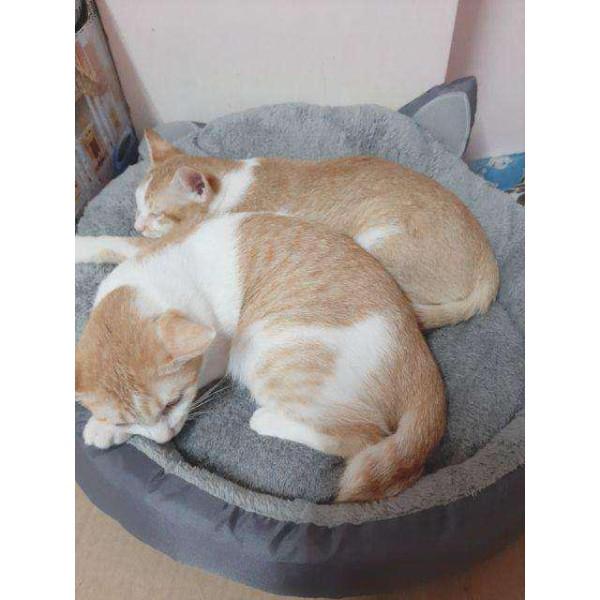 Nệm giữ ấm cho Chó Mèo- Hình Tai Mèo 50x50.