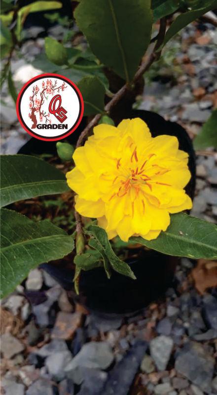 Hoa mai cúc thọ hương cây giống chuẩn chơi tết