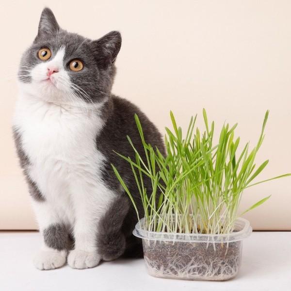 Cỏ Lúa Mì (Lúa Mạch) - Cỏ Mèo - Bộ Kit Tự Trồng Cỏ Mèo Tươi Siêu Dễ - Nà Ní Pet Shop