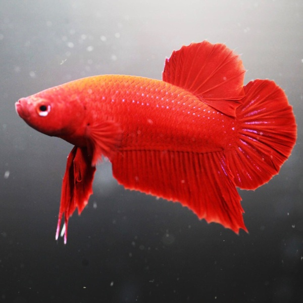 BETTA SUPER RED ( trống )