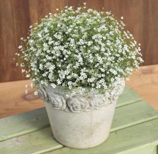 [Hạt mới t8 2020] Gói 100 hạt giống hoa baby trắng trồng chậu - Gypsophila Gypsy Baby breath - Nanuseeds - Thế Giới Rau Mầm Shop thumbnail