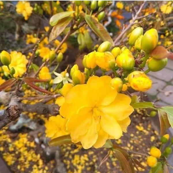 Cây Hoa mai Huỳnh Tỷ 24 cánh