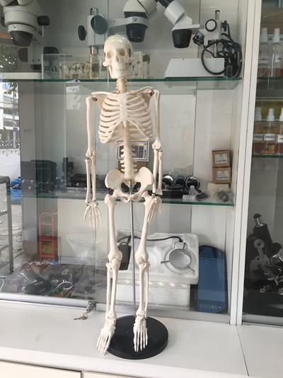 Mô hình bộ xương người 85cm nhập khẩu
