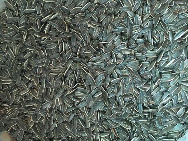Hạt hướng dương lớn dành cho hamster 500g