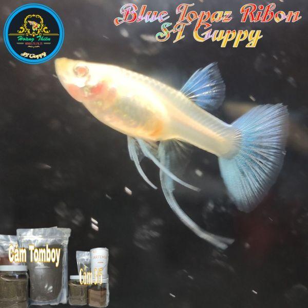 Guppy Blue Topaz Ribon ( Tặng 1 Cặp Gen) | Bộ Trang Trí Hồ Cá | Tặng Hộp Sốp