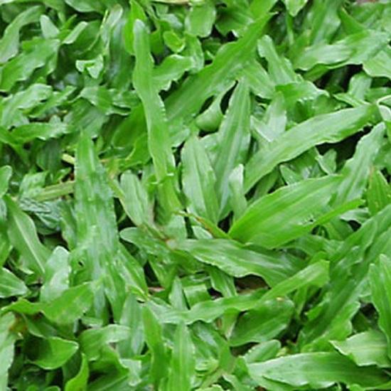 hạt giống cỏ lá gừng ( cỏ thảm gói 500g)