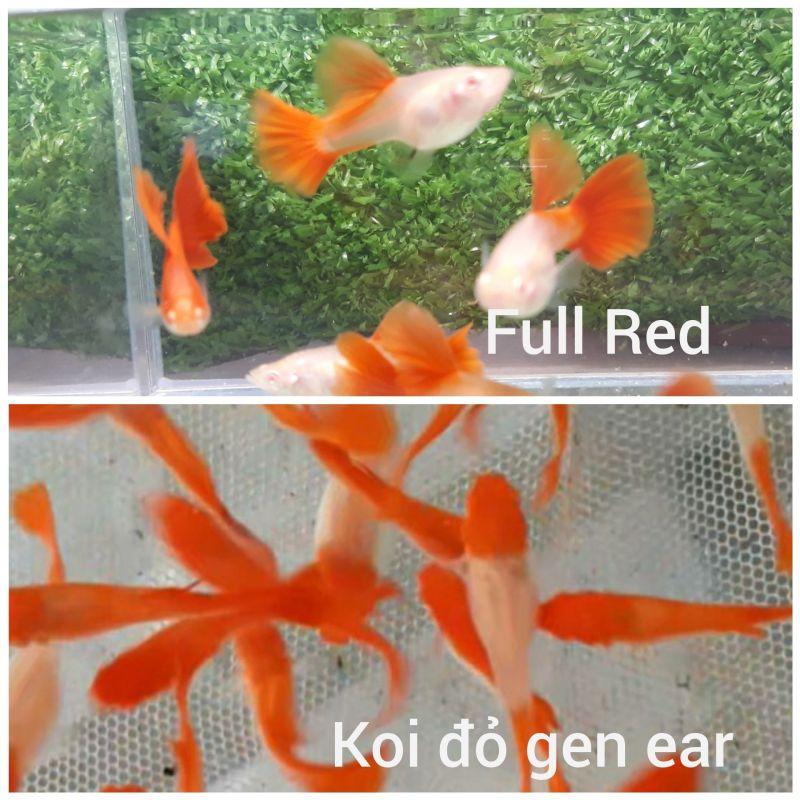 Combo guppy Full Red & Koi đỏ gen ear