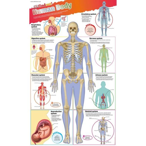 Sách : Tìm Hiểu Cơ Thể Người - DKfindout! Human Body Poster - Dành Cho Học Sinh Từ 5 tuổi