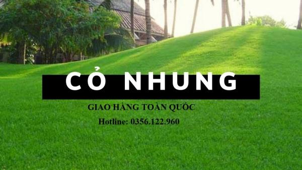 Hạt giống cỏ NHUNG NHẬT - cỏ thảm gói 100g